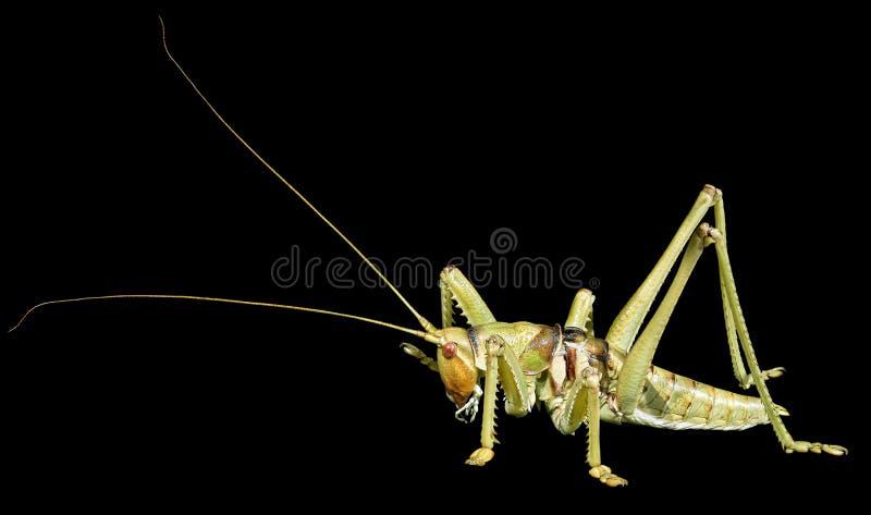 Cricket o katydid del cespuglio di saga fotografie stock