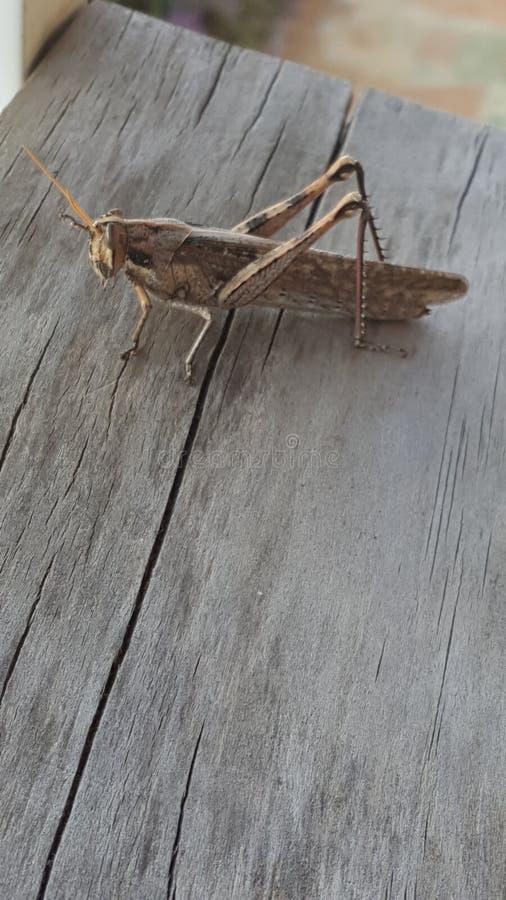 Cricket su una plancia di legno fotografie stock libere da diritti
