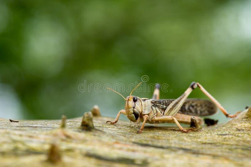 Cricket sur l'arbre photos stock