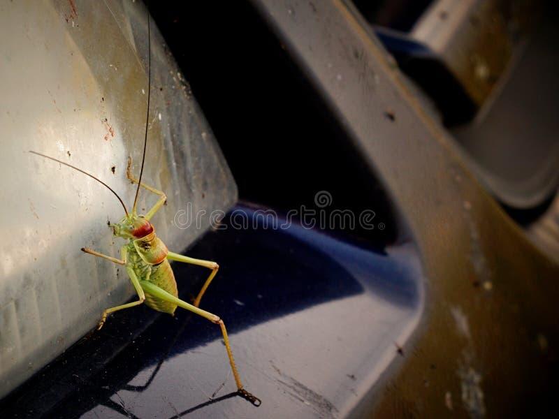 Cricket vert de buisson de famille de Tettigoniidae s'élevant sur des phares de voiture photographie stock