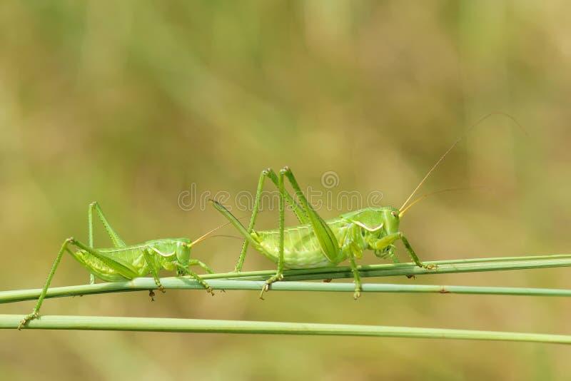 Crickets verts photographie stock libre de droits
