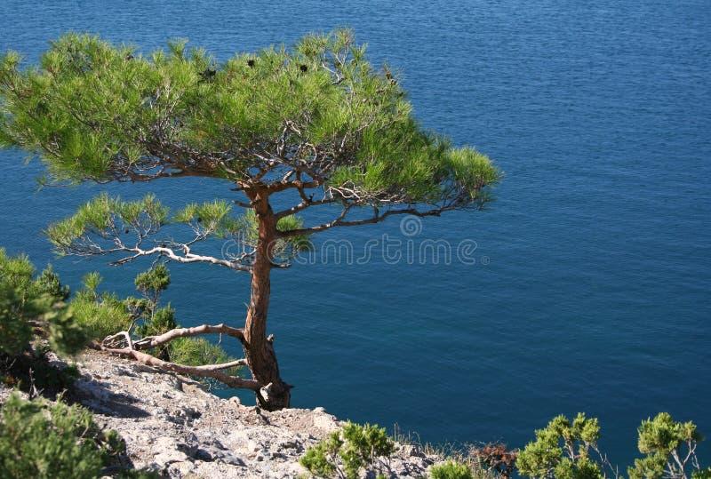 Crimea peninsula. The Black Sea. Pine tree. Ukraine. Crimea peninsula. The Black Sea. Pine tree next to the azure sea royalty free stock photos
