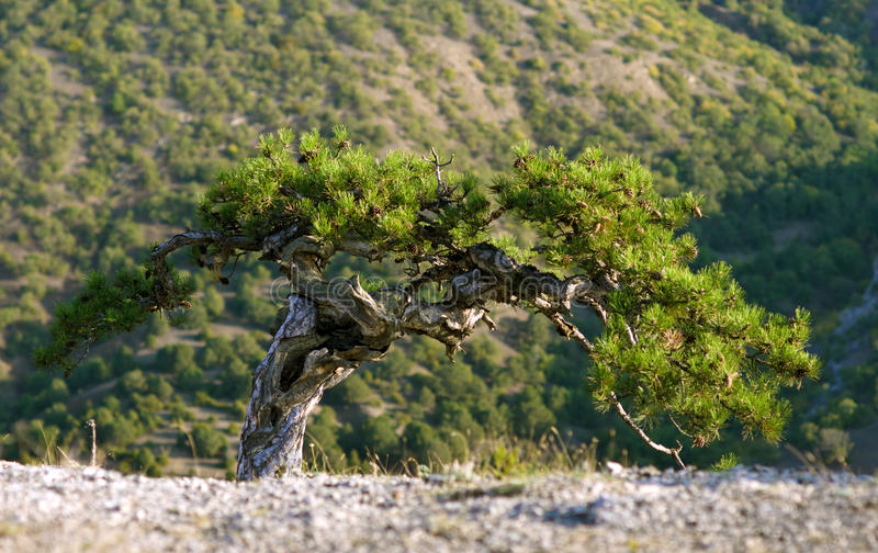 Crimea pine tree stock photos