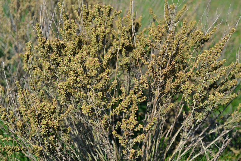 Crimean steppe wormwood royalty free stock photography