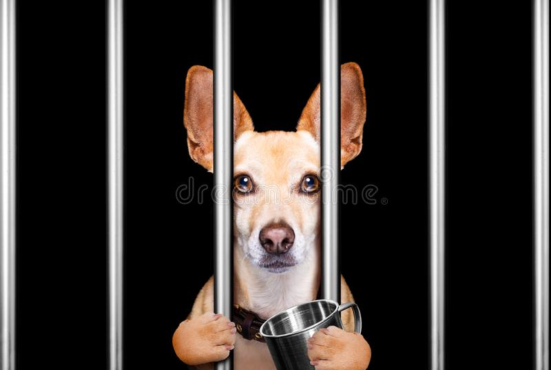 criminal dog behind bars in police station, jail prison, or shelter for bad behavior royalty free stock photos