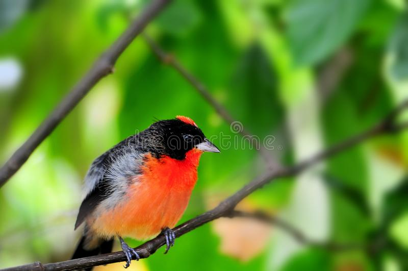 Crimson-breasted Finch bird in aviary stock image