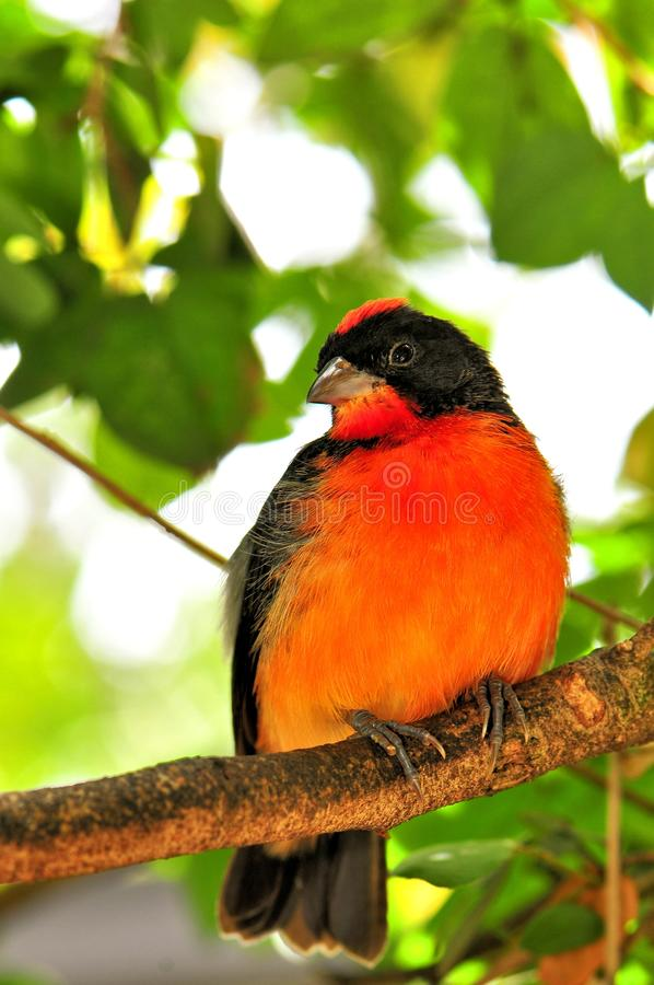 Crimson-breasted finch bird on branch, Florida stock image