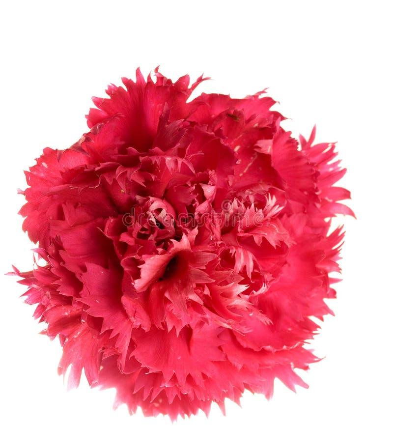 Crimson carnation flower. Single crimson carnation isolated on white background royalty free stock image