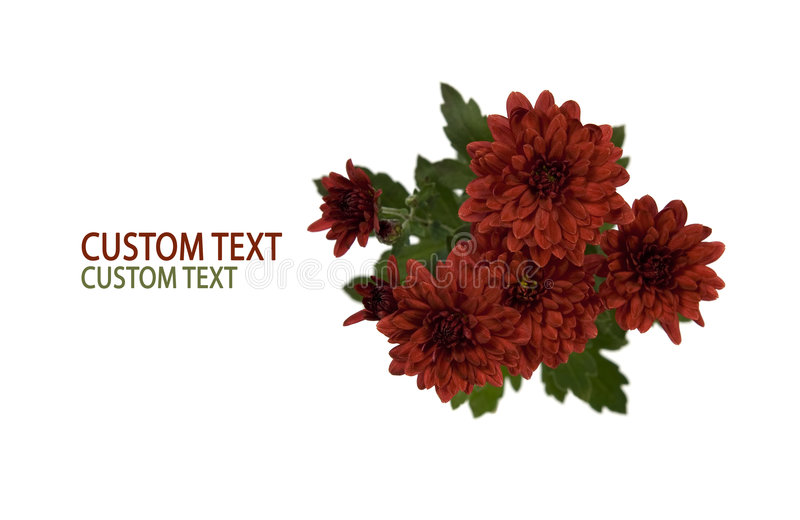 Crimson Chrysanthemum Flowers. Over pure white background with space for custom text stock image