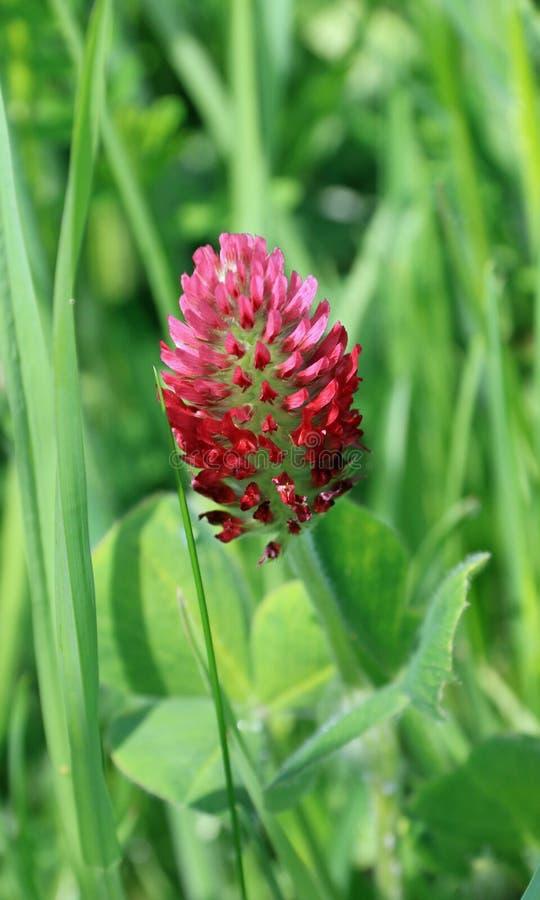 Crimson Clover royalty free stock photography