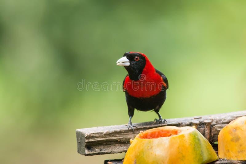Crimson-collared Tanager fotografia de stock