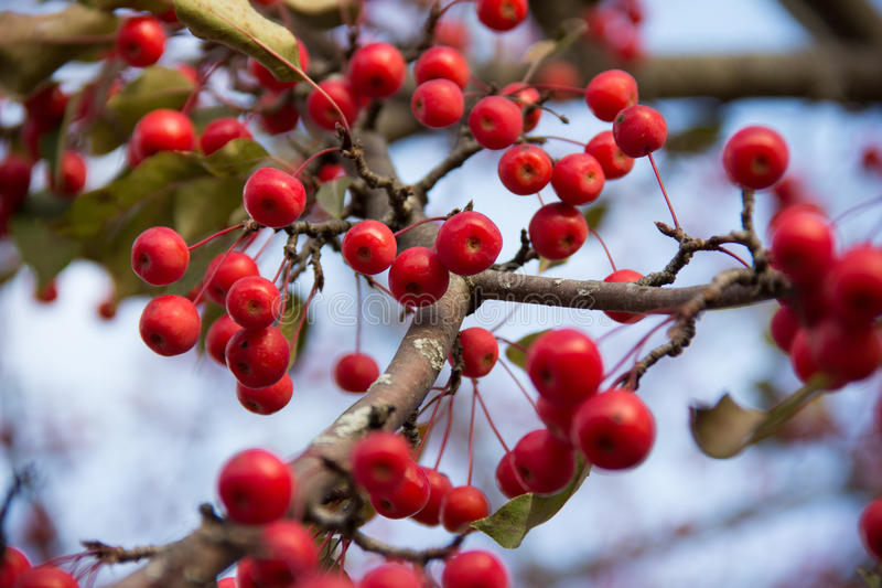 Crimson colored berries royalty free stock photography