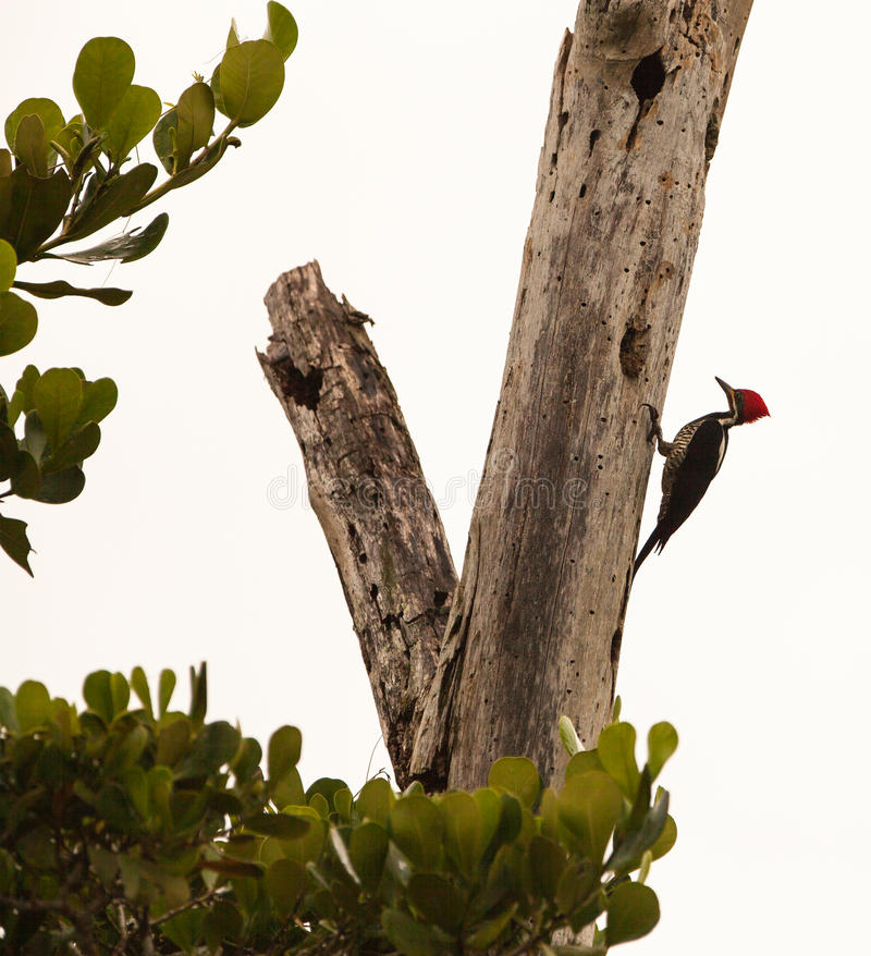 Download Crimson-crested Woodpecker Royalty Free Stock Images - Image: 27337839
