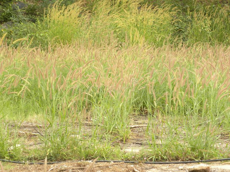 Crimson Fountain grass. Many Crimson Fountain grass or Pennisetum setaceum or perennial bunch grass plants stock photography