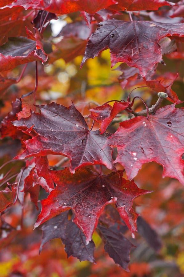 Crimson konung för Acer platanoides royaltyfri foto