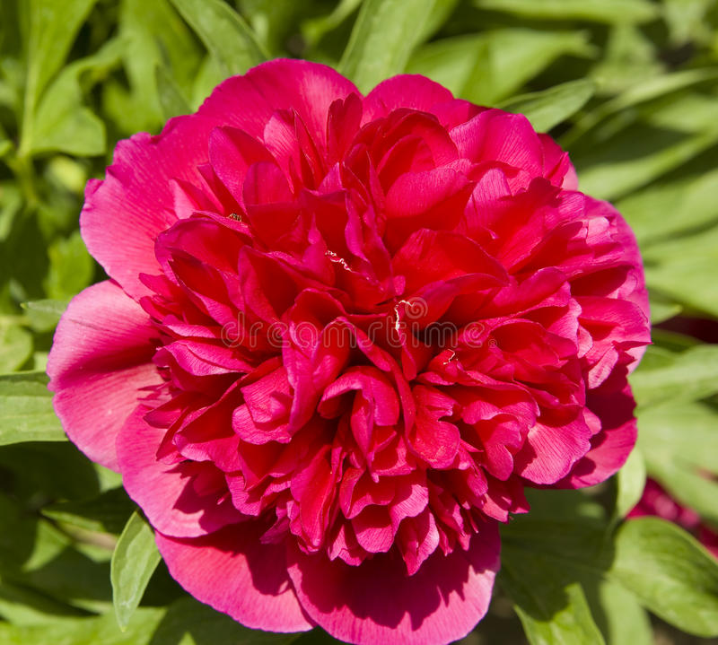 Download Crimson peony stock image. Image of flower, raspberry - 37645533