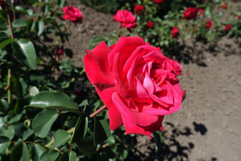 Crimson red flower of garden rose. In May stock images
