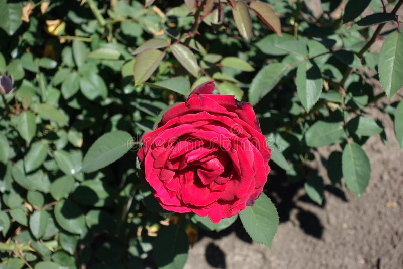 Crimson red flower of garden rose. In May royalty free stock images