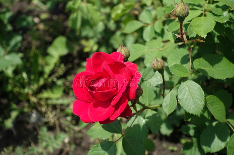 Crimson red flower of rose. In May stock photo
