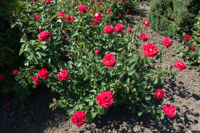 Crimson red flowers on rose bush. Crimson red flowers on the rose bush royalty free stock photo