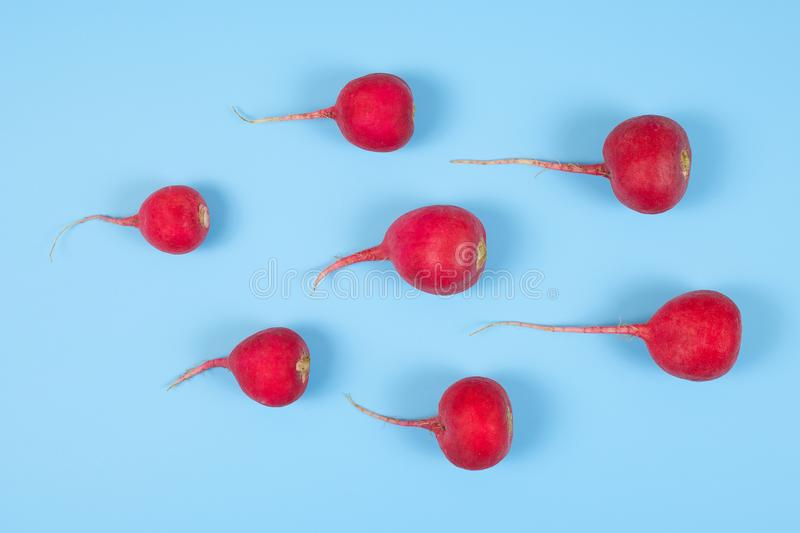 Crimson red radish isolated on blue background. New life conception. Healthy food conception royalty free stock image