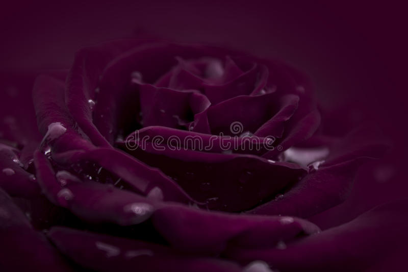 Crimson red rose. Bloom isolated in crimson background royalty free stock photography