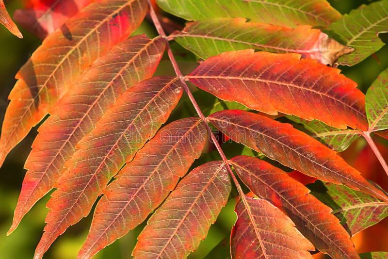 Download Crimson Red Sumac In Autumn Stock Image - Image: 26679887