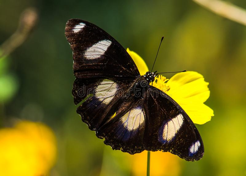Crimson Ros, Pachliopta Hector butterfly stock image