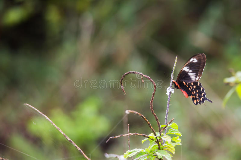 Crimson rose Butterfly foraging royalty free stock images