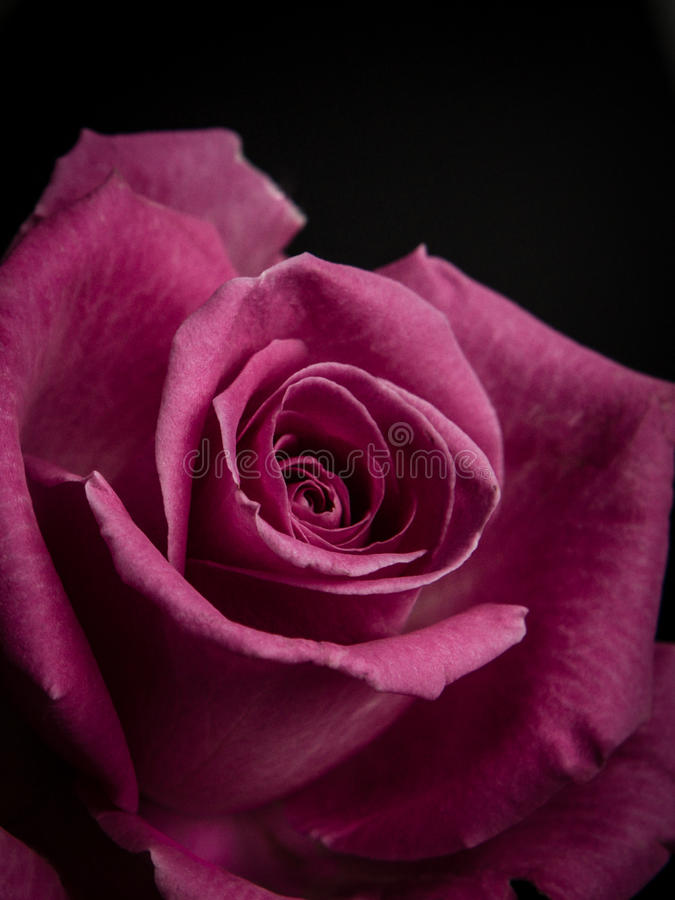 Crimson Rose. Closeup of a one isolated crimson rose with black background royalty free stock photography