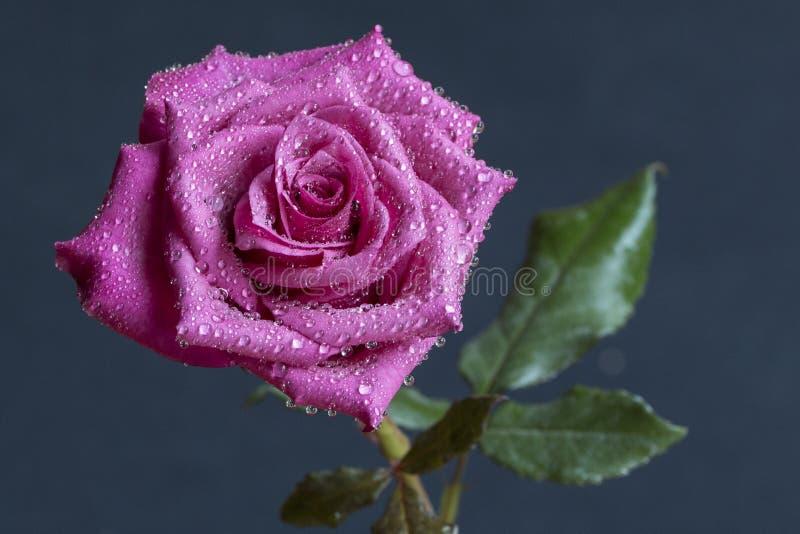 Crimson Rose. Dewy single crimson rose on a dark grey background stock photos