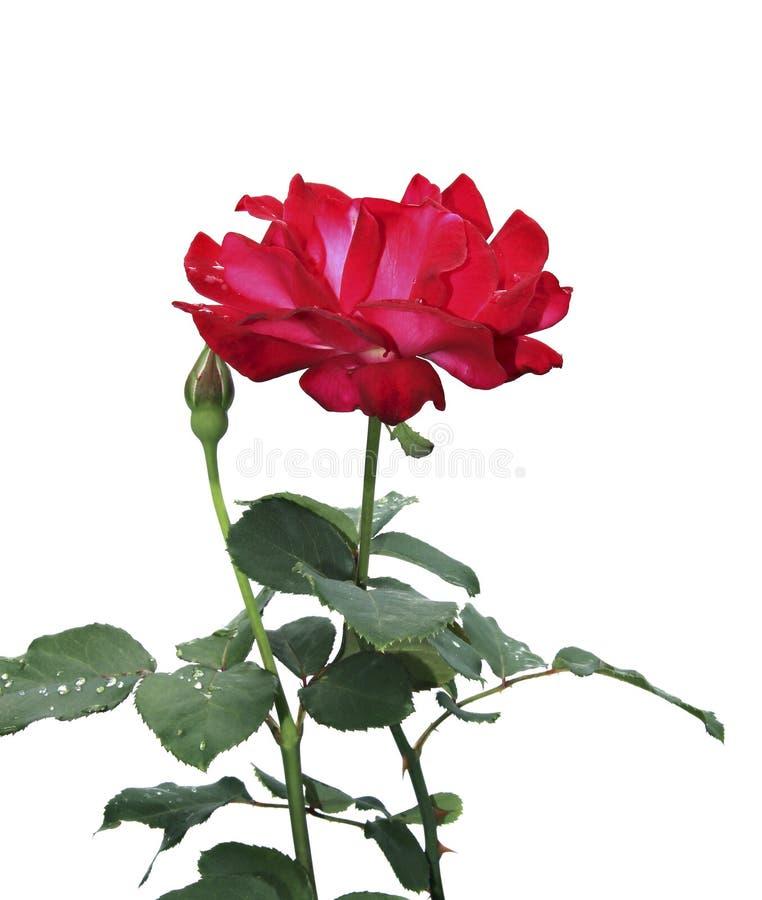 Crimson Rose flower. Isolated on white background stock images