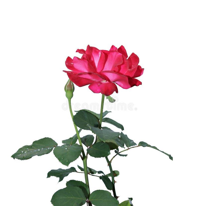 Crimson Rose flower. Isolated on white background stock image