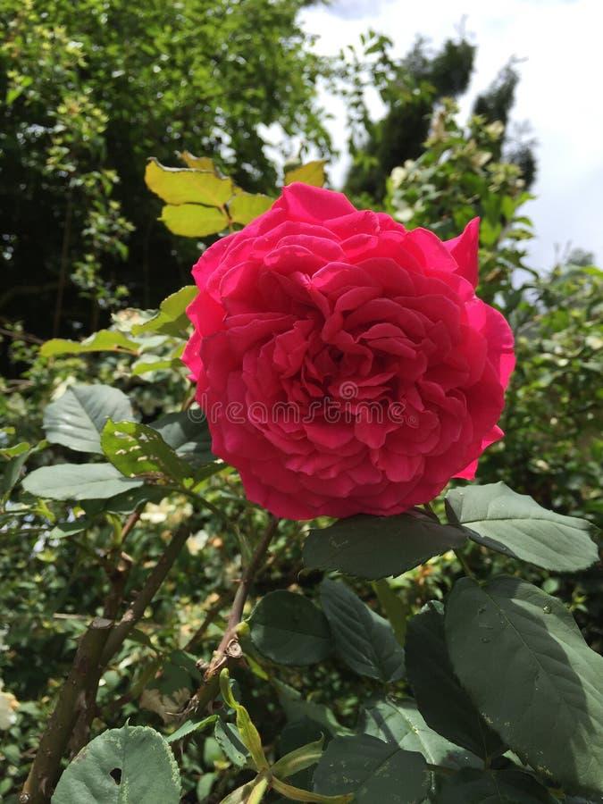 Crimson rose. Crimson Red Rose Blooming flower green stock image