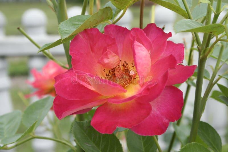 Crimson rose. Summer crimson rose flower on the bush in the garden stock photo