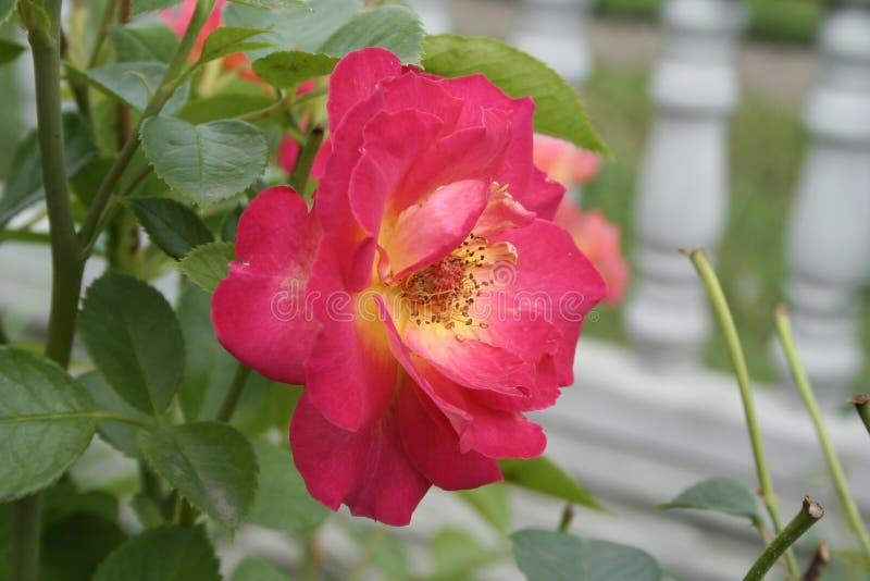 Crimson rose. Summer crimson rose flower on the bush in the garden royalty free stock images