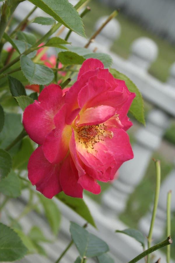 Crimson rose. Summer crimson rose flower on the bush in the garden, vertical shot stock photography
