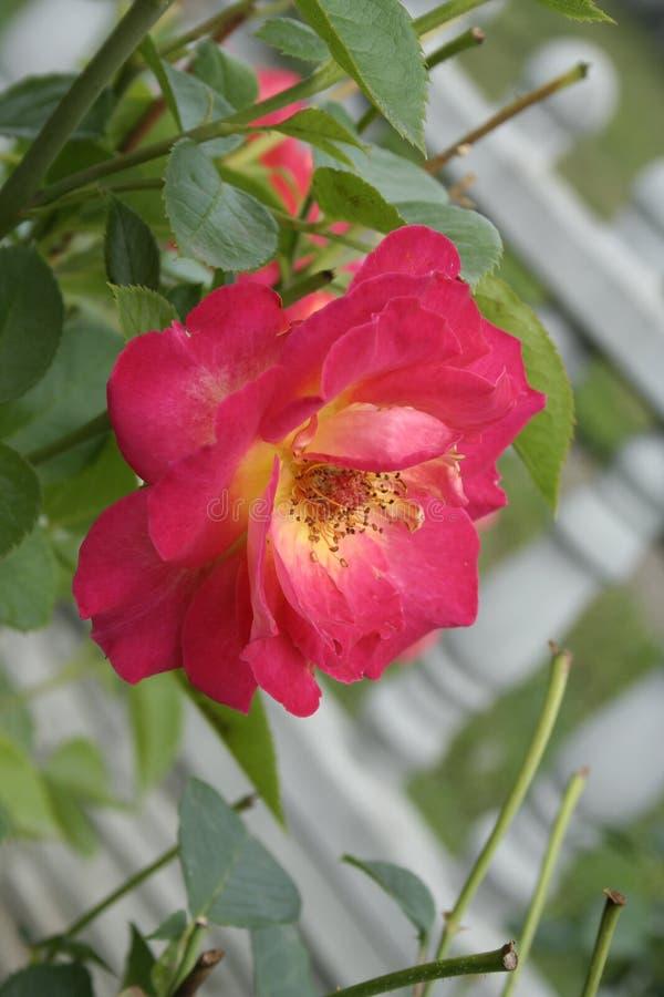 Crimson rose. Summer crimson rose flower on the bush in the garden, vertical shot stock image