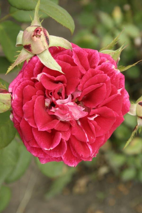 Crimson rose. A summer crimson rose flower on a flowerbed, vertical shot stock photography