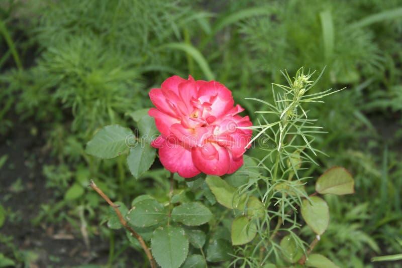 Crimson rose. Summer crimson rose flower in the garden stock photo