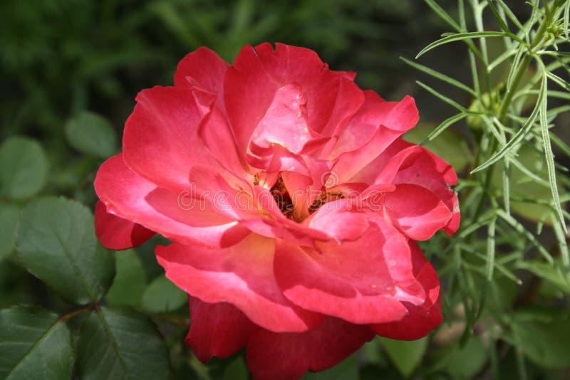 Crimson rose. Summer crimson rose flower in the garden royalty free stock images