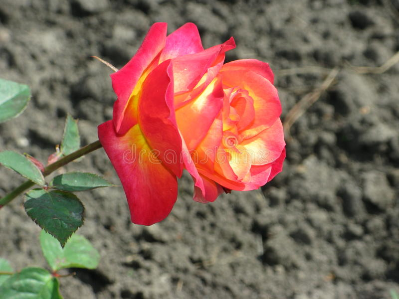 Crimson rose. Summer crimson rose flower in the garden stock photography