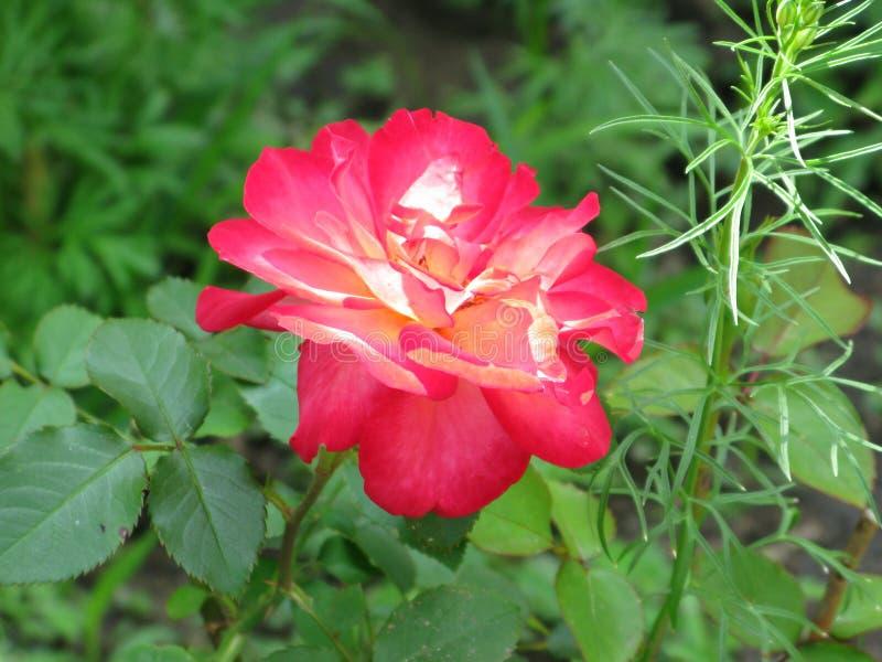 Crimson rose. Summer crimson rose flower in the garden stock images