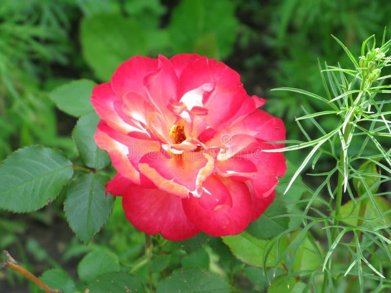Crimson rose. Summer crimson rose flower in the garden royalty free stock photo