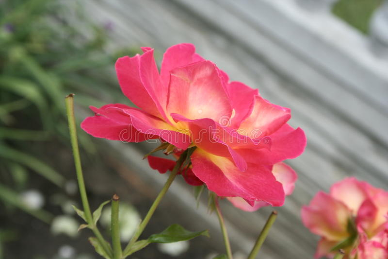 Crimson rose. Summer crimson rose flower in the garden royalty free stock photos