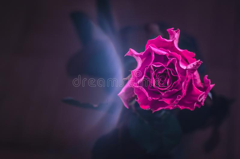 Crimson rose with wavy petals and drops of dew on dark background. Crimson rose with wavy petals and drops of dew on black background royalty free stock images