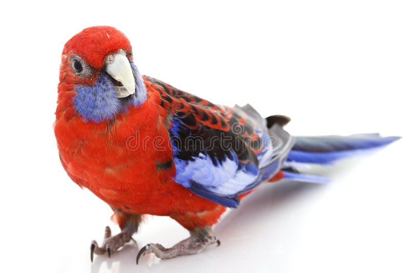 Download Crimson Rosella stock image. Image of biology, isolated - 7202299