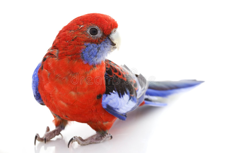 Download Crimson Rosella stock photo. Image of exotic, space, parrot - 7202306