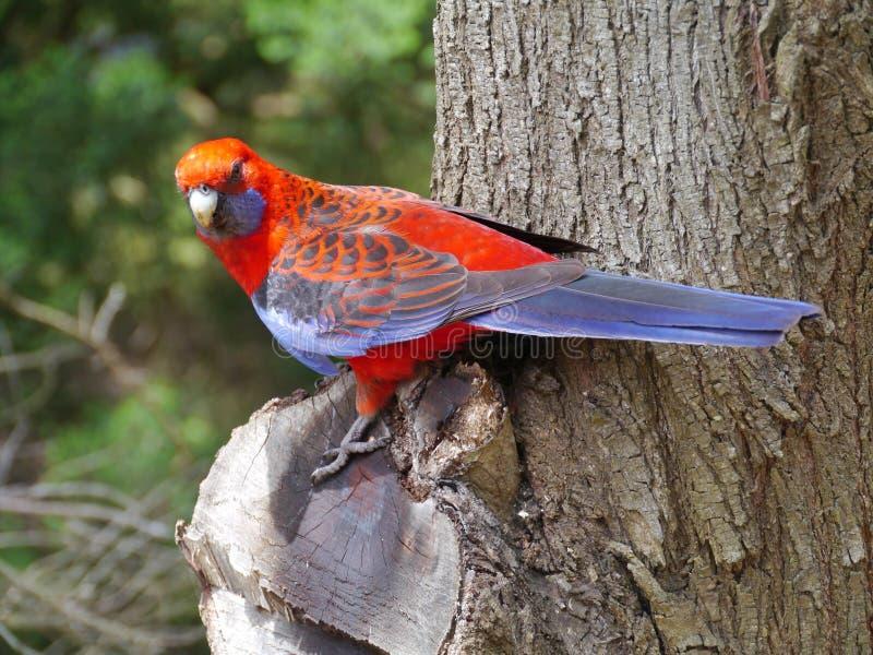 Download Crimson Rosella stock photo. Image of colourful, fauna - 36298166