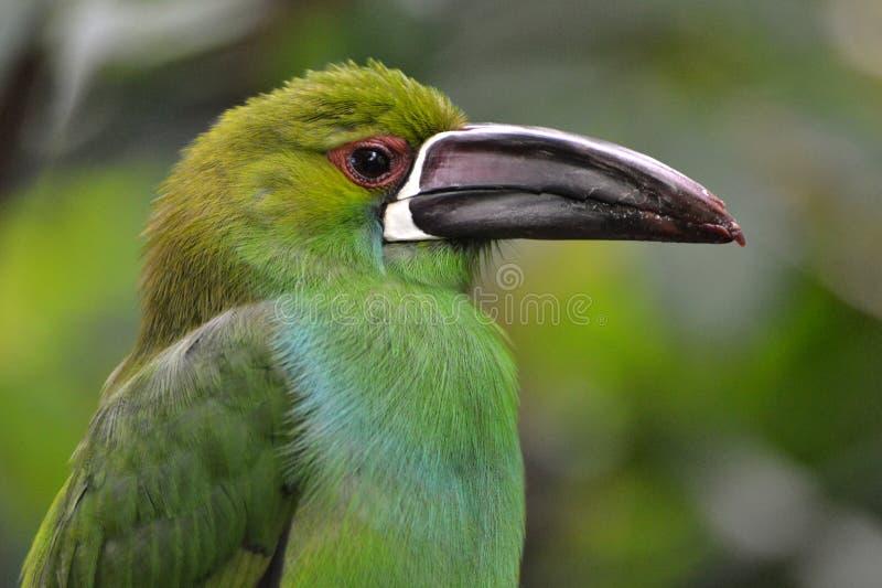 crimson rumped toucanet royaltyfri fotografi